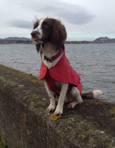 Ruby the Springer Spaniel in Ruffwear Aira jacket